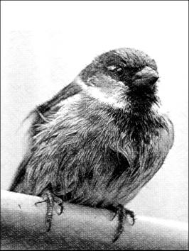 sparrowsingular