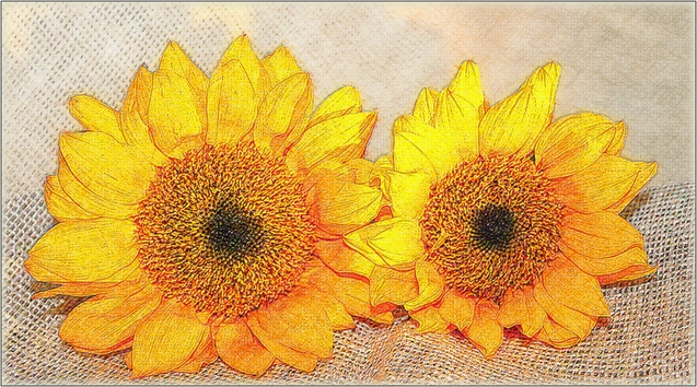 sunflowers without frame