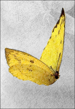 LEMON-YELLOW BUTTERFLY