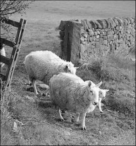 sheepgate
