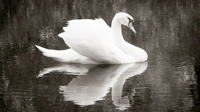 purity swan