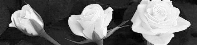 rose unfolding 2