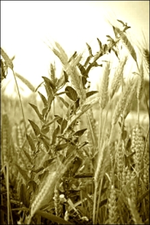 thorns and wheat